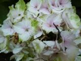 Hydrangea Magical Noblesse (2).JPG