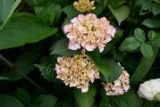 Hydrangea macr. heu (2).JPG