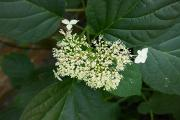 Hydrangea arborescens White Dom (2).JPG