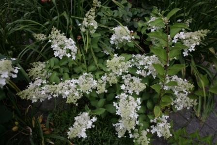 rispenhortensien hydrangea paniculata. Black Bedroom Furniture Sets. Home Design Ideas