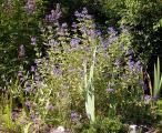 Caryopteris Mutterpflanze 2.9.11.jpg