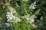 Hydrangea paniculata 'Kyushu' (2).JPG