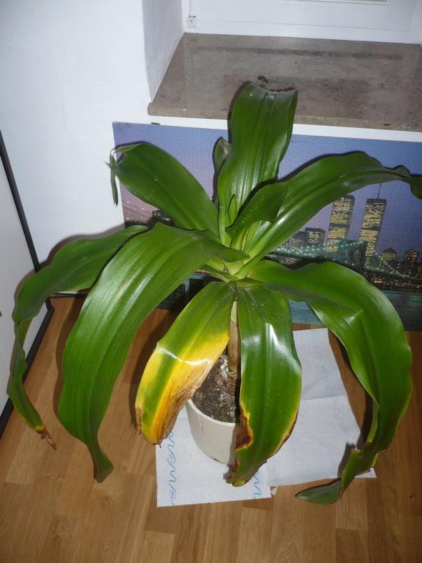 K bel und zimmerpflanzen afrikanische lilie bekommt gelbe bl tter - Zimmerpflanzen dunkel ...