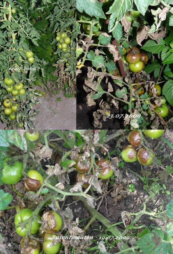 gem se und obstgarten braunf ule bei tomaten. Black Bedroom Furniture Sets. Home Design Ideas