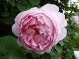 Rose Constance Spry (2).JPG