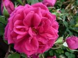 Rose Tess of the D Urbervilles.JPG