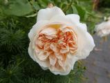 Rose Lichfield Angel (3).JPG