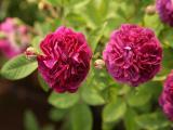 k-R.c. a fleur doubles violettes.JPG