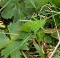 5CIMG5747 AS Wanstschrecke -Polysarcus denticauda W.jpg