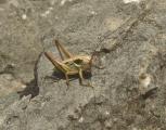 4P1140683 Metrioptera roeseli-Rösels BeissSchr frgaufgeh+as.jpg