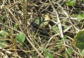 Bild 4 Psophus stridulus 06.09.11.JPG