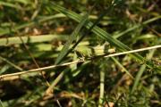 Chorthippus female.jpg