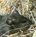 Rattus-1.jpg