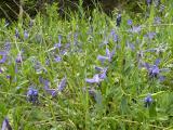 Vinca herbacea5(1).JPG