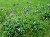 Salvia nutans.jpg