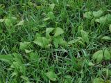 Phlomis tuberosa04.jpg