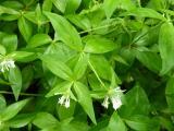 Asperula taurina22.JPG