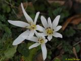 Colchicum hungaricum02.jpg