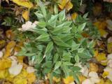 Ruscus aculeatus6.JPG