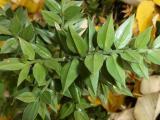 Ruscus aculeatus7.JPG