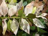 Ruscus aculeatus10.JPG