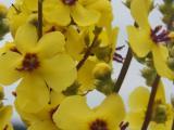 V.chaixii virága.jpg