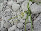 Cyperus sp. másik3.jpg