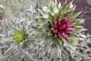 Latorhegy, növény4.JPG