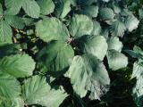Sm. Rubus2 közeli.jpg
