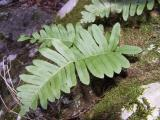 26 Polypodium vulgare.JPG
