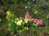 Primula szinek8.jpg