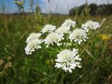 DPAL Oenanthe silaifolia6 virágzata.jpg