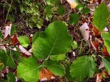 Sorbus danubialis1.jpg