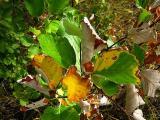 Sorbus danubialis2.jpg