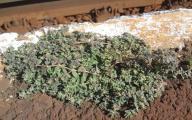 Hypericum humifusum10 virágzó.jpg