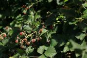 Rubus 3.jpg
