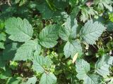 Ko Rubus sp.6.jpg