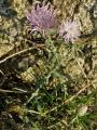 Centaurea stoebe_P8040248_2.JPG