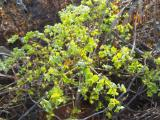 Euphorbia sp..jpg