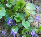 Viola sp.3.jpg