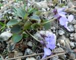 Viola sp. dolomiton csodás3.jpg