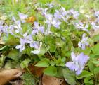 NH Viola suavis csoport2 csodás.jpg