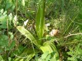 Orchis sp.5 t?levél.jpg