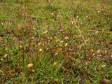 Leontodon autumnalis (őszi oroszlánfog) DSCF1840 - Fejeték 2010. 10. 16._e.JPG
