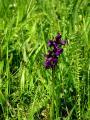 Orchis morio agárkosbor DSCF6510 FE-10KO30KT-20.jpg