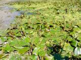 Potamogeton natans1 állomány csodás.jpg