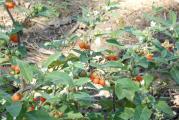 _Solanum alatum 1.jpg