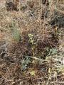 scleranthus sp.JPG