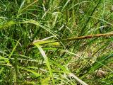 Carex sp.2.jpg