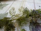 Utricularia4 teljes növény4.jpg